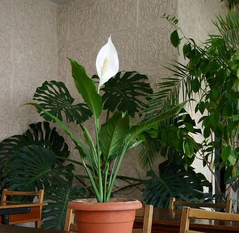 <strong>�����������</strong> (Spathiphyllum) | ��������� ������� ����������� <strong>...</strong>